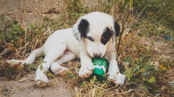 MAA Puppy